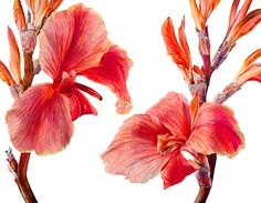 Cannas 2 by Rosie Sanders - a really beautiful treatment of flowers