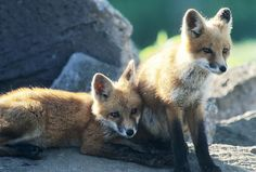 A pair of red fox pups sitting on rocks. Photo credit: Herbert Lange
