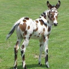 Leopard appaloosa baby mule, how cute is the heart on his rump! All The Pretty Horses, Beautiful Horses, Animals Beautiful, Leopard Appaloosa, Appaloosa Horses, Farm Animals, Animals And Pets, Cute Animals, Majestic Horse
