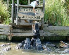Watch the alligators leap for food at Alligator Adventures near Barefoot Landing #MYRDreamVacation
