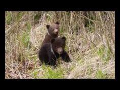 ursi in brasov Black Bear, Brown Bear, Romania, Animals, Animais, Animales, American Black Bear, Animaux, Animal