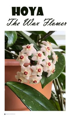 Hoya - the Wax Flower... Succulents | Flowering House Plants