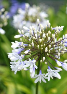African lily Agapanthus 'Queen Mum' July to August, into greenhouse in winter, full sun on patio in summer