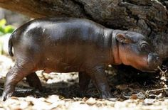 Unlike the full-size hippos that cruise the rivers of Africa, pygmy hippos are native to the forests and swamps of western Africa and Kenya. They are nocturnal and reclusive, making them very rare to see in the wild–they were unknown outside of West Africa until the 19th century.
