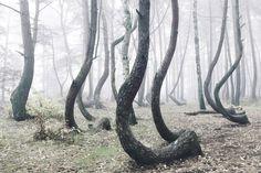 foresta polonia alberi storti 9