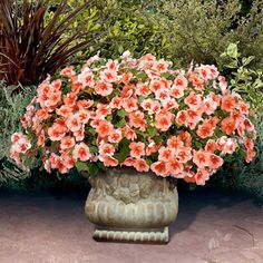 A free-flowering Impatiens designed for hanging baskets, with a very full habit and masses of large peachy-salmon blooms marked with bright orange. Shade Plants Container, Container Gardening, Home Garden Plants, Garden Pots, Annual Flowers, Flower Boxes, Flower Containers, Peach Flowers, Garden Seeds