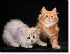 look at them,what a beautiful Siberian kittens.:)