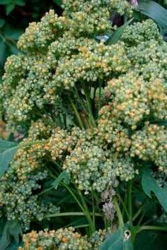Quinoa, love to eat but I never thought about growing my own!  Great article with everything you need to know.