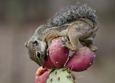 16 best images about True Nopal Cactus Water New hydrating Beverage Prickly Pear Super Fruit Ground Squirrel, Baby Squirrel, Types Of Animals, Cute Animals, Wild Animals, What Do Squirrels Eat, Cactus Water, Desert Animals, Prickly Pear Cactus