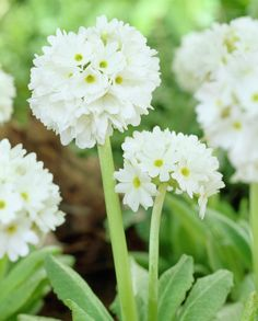 White drumstick primula • Primula denticulata var. alba • Primula denticulata 'Alba' • Plants & Flowers • 99Roots.com