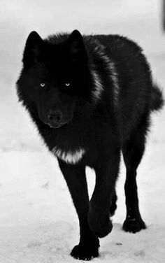 I am Obsidian. I am one of the deadliest warriors in the pack and I find pleasure in hurting others, but only a few have noticed that. I have no desire to have a mate and for some weird reason I like pups.