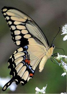 Giant Swallowtail Portrait by Doug Van den Bergh