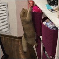 "Hilarious Cat GIF • ""Miiiine!"" Angry cat wants to catch that pink feather but fails hahaha"