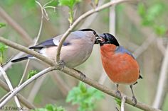 Beautiful Birds, Animals Beautiful, Bullfinch, Exotic Birds, Wildlife, Finches, Images, British, Couple