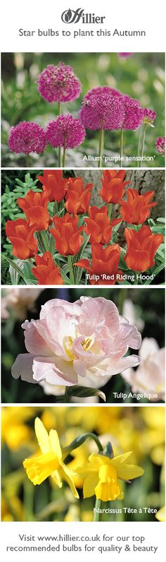 English Roses, Red Riding Hood, Bulb, Advice, Gardening, Autumn, Purple, Board, Plants