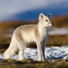 #Arctic #fox from the Norwegian mountains.