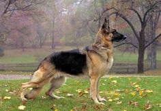 German Shepards are the best
