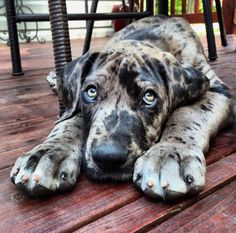 """Fantastic """"great dane puppies"""" info is available on our website. Have a look and you wont be sorry you did. Beautiful Dogs, Animals Beautiful, Cute Animals, I Love Dogs, Cute Dogs, Dane Puppies, Retriever Puppies, Leopard Dog, Great Dane Puppy"""