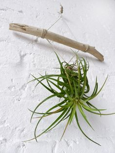 Air plant with drift wood //
