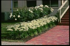 Snow Storm agapanthus underplanted beneath white Flower Carpet roses topiary trees.
