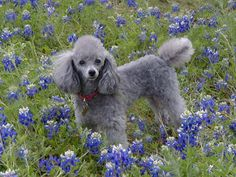 Poodle Dogs The Poodle Patch — Silver Miniture Poodle just being beautiful… - Grey Poodle, Silver Poodle, Cute Puppies, Cute Dogs, Dogs And Puppies, Doggies, Poodle Puppies, Miniture Poodle, Poodle Haircut