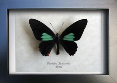 Emerald Patched Parides Sesostris Real Butterfly From Peru In Shadowbox by ButterfliesArtist on Etsy