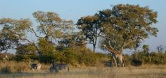 Abrupt climate change could see forest habitats change to savanna like this one in Botswana, southern Africa.