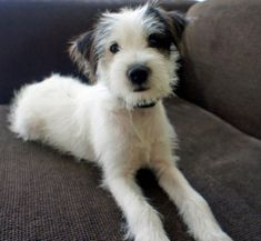 Mies the Jack Russell Mix-Adorable! He looks like my Laci did when she was a puppy.