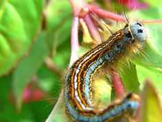 pretty caterpillar #beautiful #bug #insect #cute #blue #nature #colorful #macro #photography