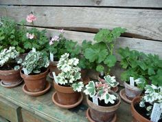 gorgeous scented geraniums