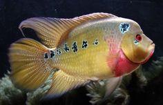 3 pack 2-3 inch Trimac Cichlid (Amphilophus trimaculatus) Live Fish Aquarium