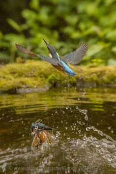 Photo TWO Kingfisher by Claudio Massanelli on 500px