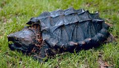 A tartaruga aligator (Macrochelys temminckii), é uma espécie de tartaruga de água doce da família Chelydridae. Esta espécie habita os rios, lagos e pântanos do sul dos Estados Unidos da América. Chega a pesar em torno de 110 Kg e seu tamanho varia enter 1,16 e 1,32 cm da ponta do focinho a ponta da cauda. Sua expectativa de vida costuma ser de 20-30 anos, mas já foram documentados indivíduos com até 70 anos ou mais. http://zoovirtualbr.blogspot.com.br