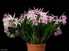 Inter-Generic Hybrid: Brassanthe Maikai 'Mayumi'- (Brassavola nodosa x Guarianthe bowringiana)