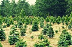 What the Tree Spirits Think of Cut Christmas Trees - as written by Shamana Sarah Petruno. Hint: They love Christmas and in fact, Christmas Trees play a very special role in the tree community :)