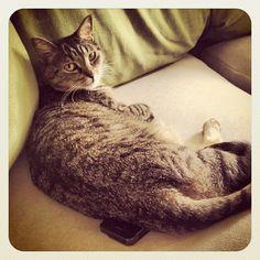 """""""I iz on ur iFon. Butt cawlin ur frenz."""" #SimonAndStellaCats #Stella #Simon #cats #cat #kitty #kitties #kitteh #kittehs #gato #gatos #monkeybuns #furpig #neko #catsofinstagram #purrdycats #iphone (at La Kitteh Inn Pacifica Bea..."""