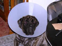 Bertha with her cone on after her eye lid surgery 2013 !