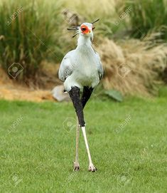 animals beautiful Stock Photo - Close up of a male Secretary Bird Pretty Birds, Love Birds, Beautiful Birds, Animals Beautiful, Nature Animals, Animals And Pets, Funny Animals, Cute Animals, Exotic Birds