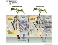 The role of arbuscular mycorrhizas in reducing soil nutrient loss | Plant-Mycorrhizal Fungi Interactions | Scoop.it