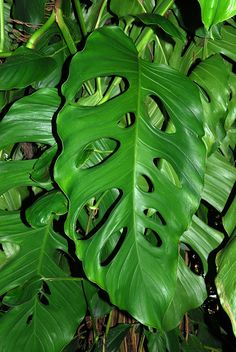 Houseplants That Filter the Air We Breathe Monstera Acacoyaguensis - Belize, Guatemala, Mxico. Tips On How To Grow A Philodendron Monstera At: Philadendron Plant, Plant Leaves, Philodendron Monstera, Monstera Deliciosa, Plants Delivered, House Plants Decor, Rare Plants, Foliage Plants, Cool Plants