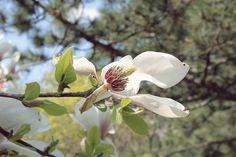 white magnolia by mircea.az on YouPic Canon Eos, Magnolia, Nature, Plants, Naturaleza, Magnolias, Plant, Nature Illustration, Off Grid