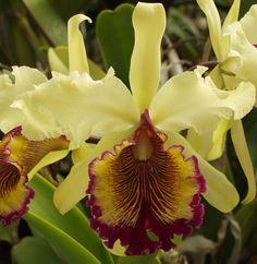 Sunset Valley Orquídeas - C. dowiana aurea