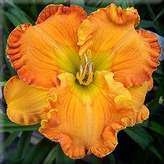 "4 seeds- ORANGE BLOSSOM TRAIL (D. Trimmer) Tetraploid  30"" Em. Re. Ev. 5 3/4"" Orange self with tiny pencil rouge eye.  X with Baja California .."