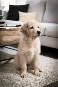 beautiful Golden Retriever puppy. - Tap the pin for the most adorable pawtastic fur baby apparel! You'll love the dog clothes and cat clothes! <3 ==>