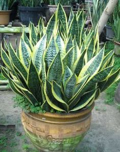 Types of Sansevieria - Things You Need to Know about snake plant - Snake Plant Images - Plants Cacti And Succulents, Planting Succulents, Planting Flowers, Inside Plants, Cool Plants, Snake Plant Images, Sansevieria Plant, Sansevieria Trifasciata, Snake Plant Care