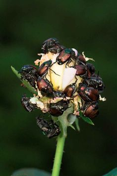 Japanese beetles are a particularly destructive pest. Learn how to identify, treat and prevent their damage. Garden Insects, Garden Pests, Killing Japanese Beetles, Myrtle Tree, Raised Bed Garden Design, Types Of Insects, Plant Diseases, Insect Pest, Backyard Vegetable Gardens