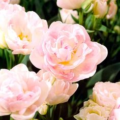 Don't let these Angelique tulips fool you, their delicate blooms and elegant colors give them a peonie-like feel: http://www.bhg.com/gardening/flowers/bulbs/best-tulips-for-your-garden/?socsrc=bhgpin041815angelique&page=11