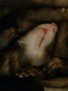 Ethel ferret closeup