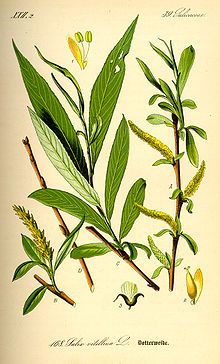 """White Willow Bark: one of Claire's """"wee herbs"""" Willow Bark for asprin"""