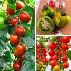russische reisetomate tomates pinterest russisch. Black Bedroom Furniture Sets. Home Design Ideas